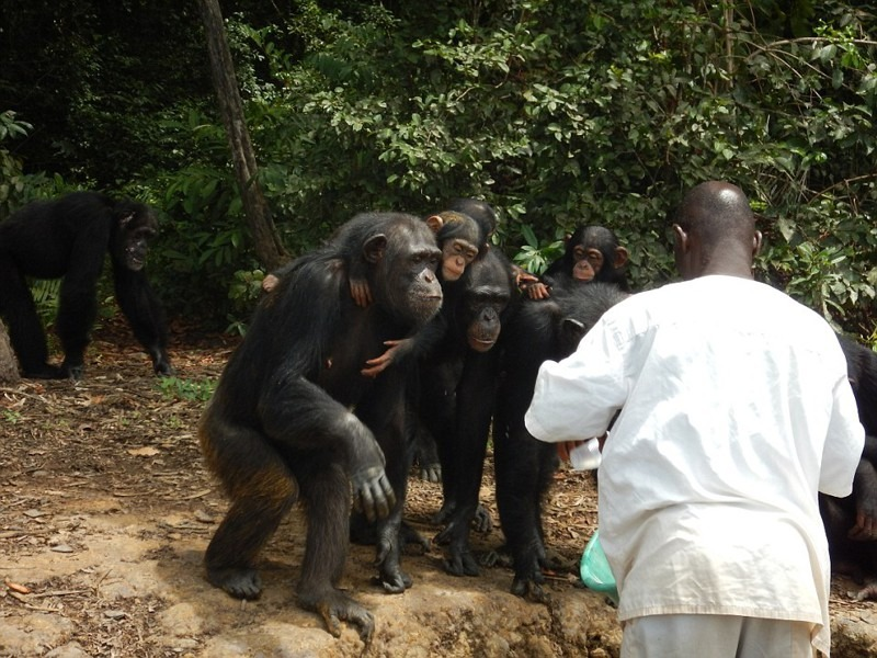 The New York Blood Center has stopped funding a population of chimpanzees that they used for research over decades in Liberia. There are 62 chimpanzees on 6 islands in Liberia now in emergency need of food and fresh water, as the Liberian government does not have the funding to care for this population, particularly during the Ebola crisis. HSUS and HSI have provided emergency funding for these chimps and are working to get additional support.
